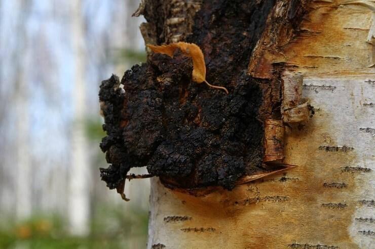 Винный гриб: полезные свойства и противопоказания, отзывы - сельская жизнь