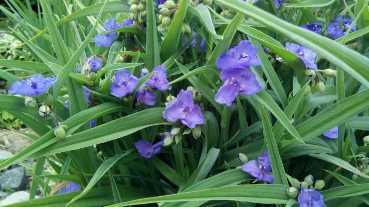 Традесканция (38 фото): уход за комнатным цветком в домашних условиях. как выглядят традесканция виргинская и традесканция разноцветная? описание других видов растения