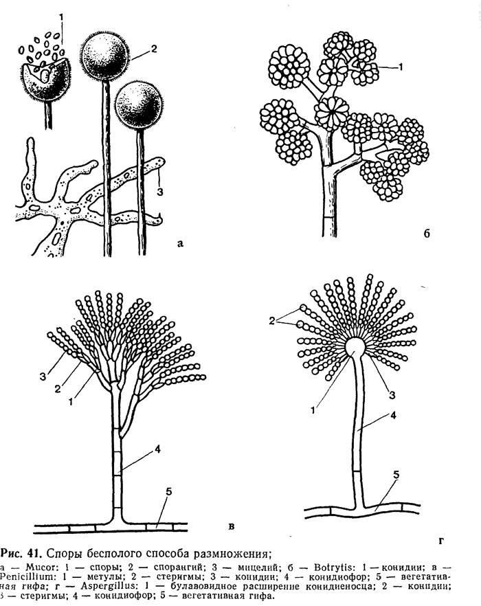 Какие бывают хищные грибы (примеры, названия и представители)