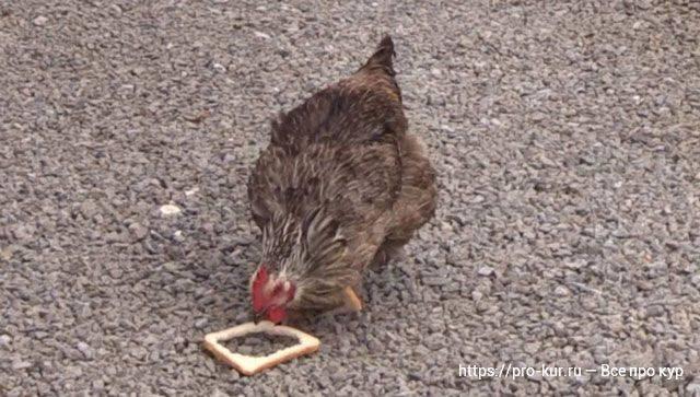 Хлеб в меню несушек: польза или вред?