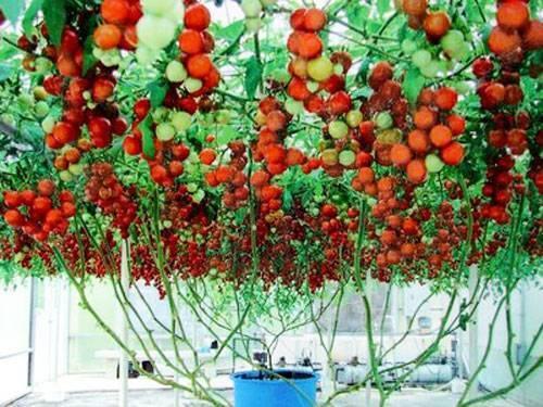 Как на балконе вырастить помидоры черри, особенности выращивания и правила ухода за растением