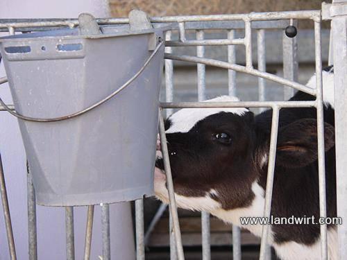 Выпойка бычков и тёлок молоком. меню до 2-х мес. (схемы!) - мои коровы