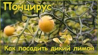 Комнатное лимонное дерево: фото, видео выращивания, уход в домашних условиях, описание лучших сортов