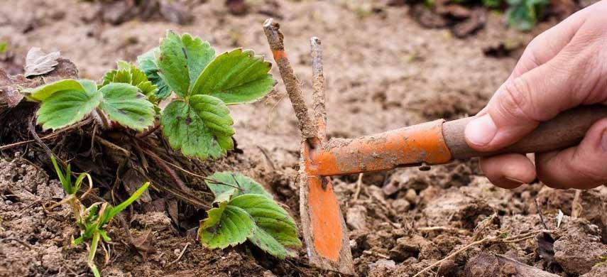 Правильный уход за клубникой осенью – залог хорошего урожая весной