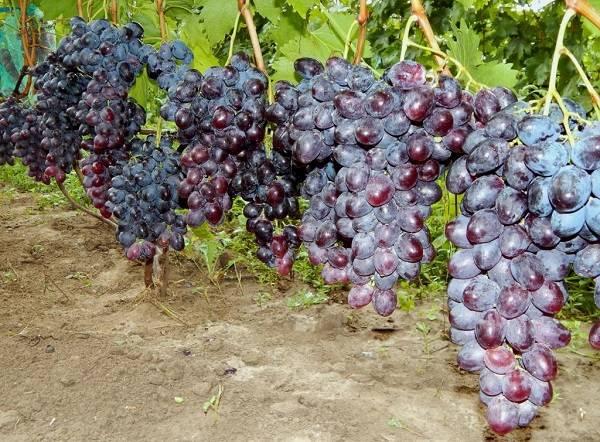 Описание сорта винограда фурор – когда размер имеет значение