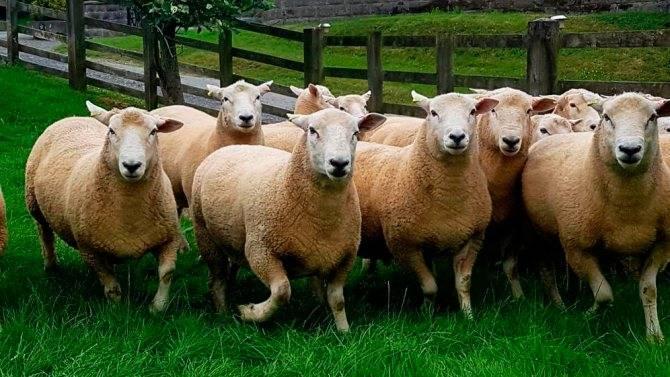 Разведение овец романовской породы в домашних условиях