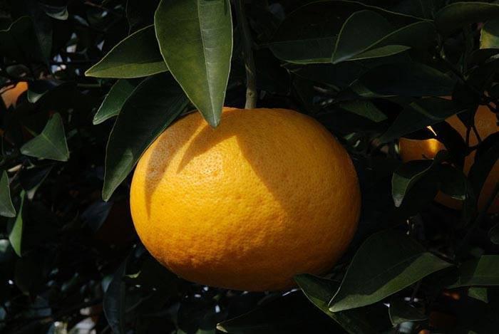 Известные гибриды цитрусовых