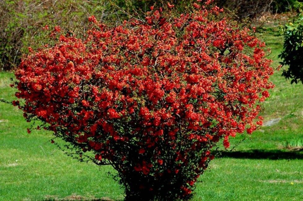 Цветущие и вечнозеленые декоративные кустарники для сада и дачи