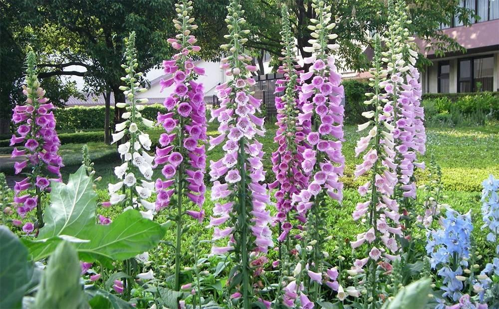 Наперстянка пурпурная (27 фото): описание, выращивание из семян, болезни и вредители, размножение