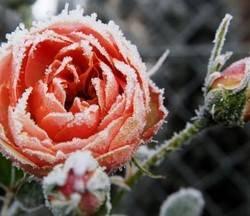 Укрываем розы на зиму. как укрыть? чем укрыть? зачем укрыть?