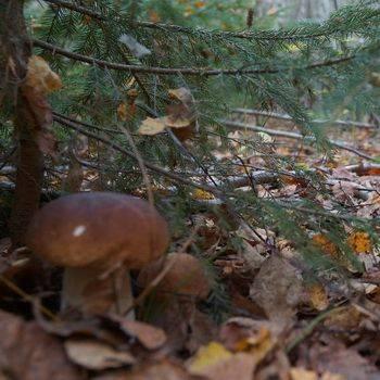 Как выглядят грибы лисички, где они растут и чем полезны? | рутвет - найдёт ответ!