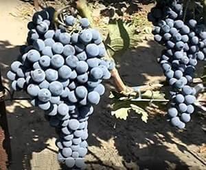 Виноград ливадийский черный: краткое описание сорта, уход, выращивание, отзывы