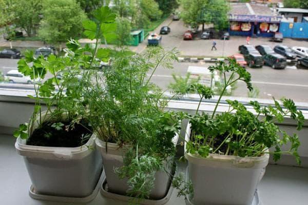 Укроп на подоконнике дома: технология выращивания и правильный уход, видео и фото