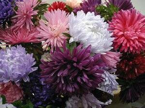 Астра пионовидная: посадка и уход за цветами в открытом грунте, популярные сорта с фото
