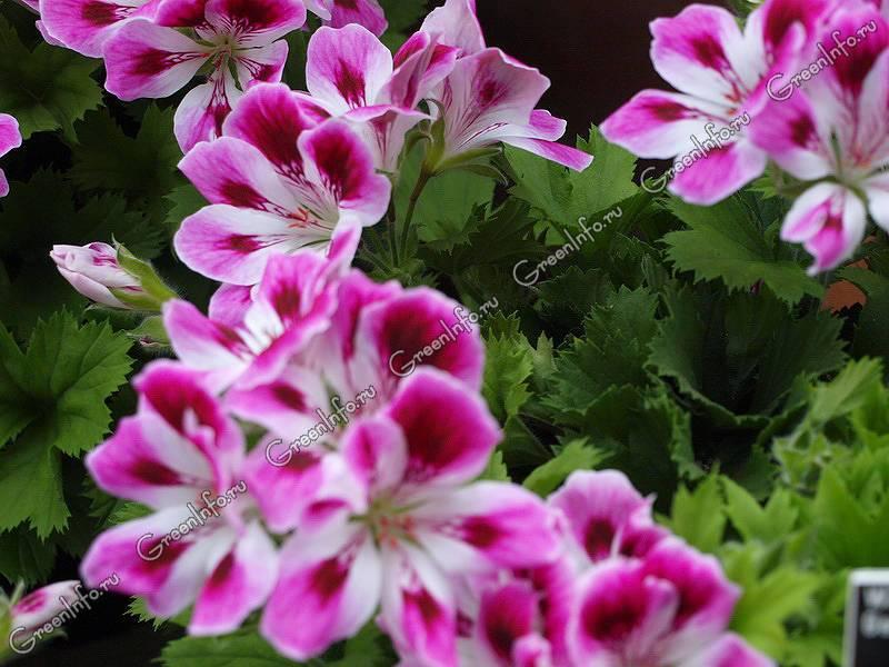 Шикарный цветок — королевская пеларгония: описание, сорта с фото, уход