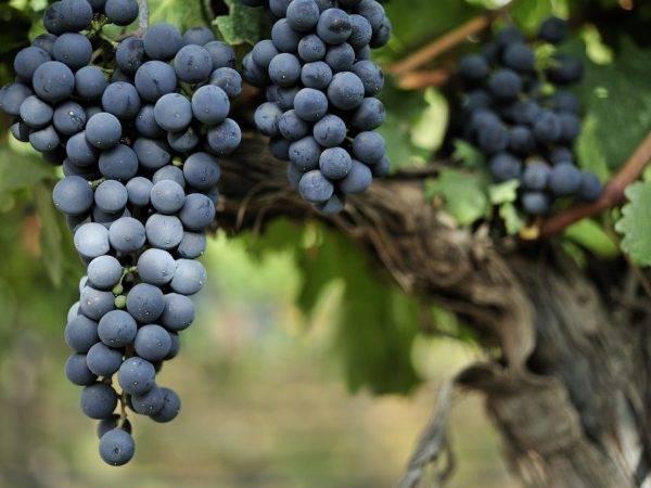 Виноград ливадийский черный: что нужно знать о нем, описание сорта, отзывы