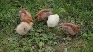 Вельзумер: высокопродуктивные несушки из голландской глубинки. отличаются хорошей яйценоскостью даже в зимний период, а также мясом хорошего качества