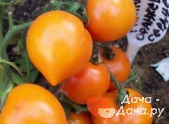 Томат непас 11 непасынкующийся комнатный: описание сорта, советы по выращиванию, отзывы о помидоре