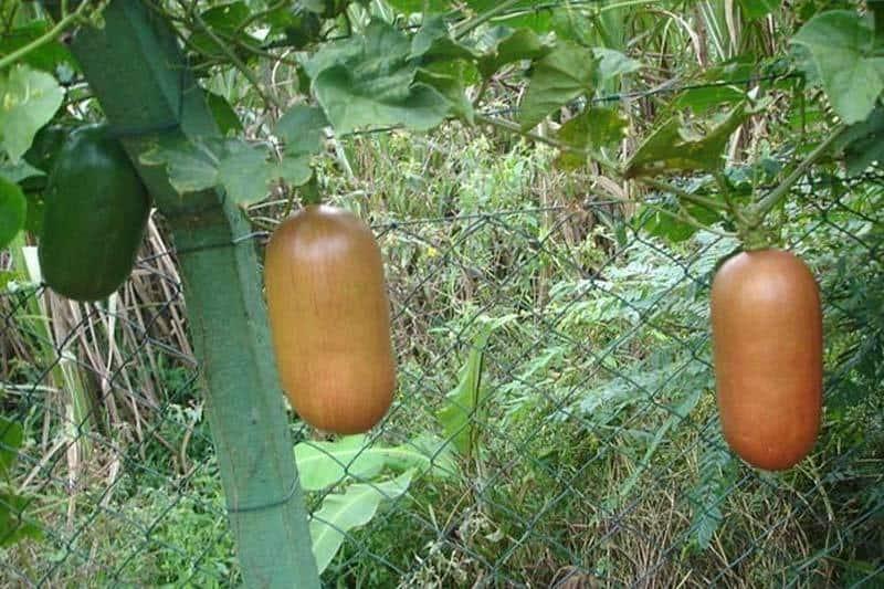 Катананхе: выращивание из семян, посадка и уход в открытом грунте, размножение, сорта, фото, сочетание в ландшафтном дизайне