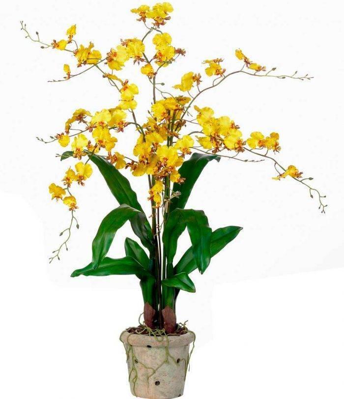 Орхидея «Онцидиум»: уход в домашних условиях, фото