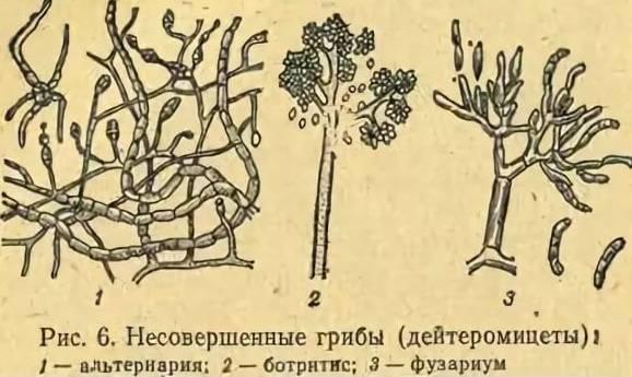 Грибы хищники примеры названия – артроботрис малоспоровый