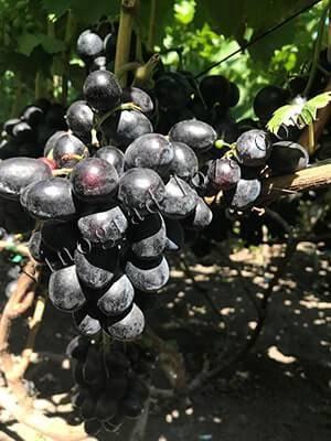Виноград велика – вкуснейший синий сорт