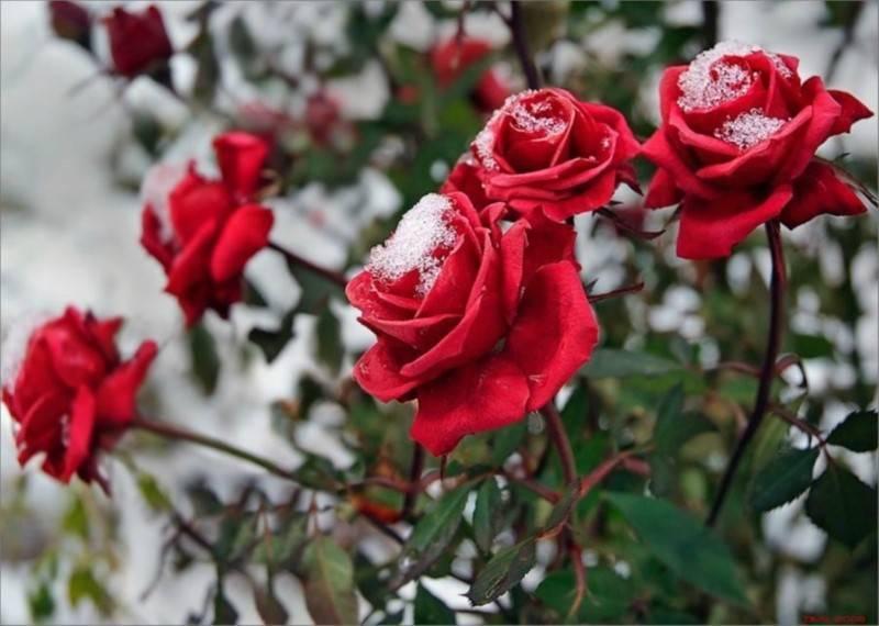 Подготовка и укрытие роз на зиму: техники, способы, материал, рекомендации