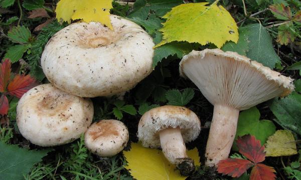 Как выглядят грибы волнушки и их описание (+27 фото)