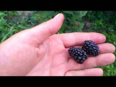 Ежевика рубен: отзывы садоводов, описание сорта, особенности ухода