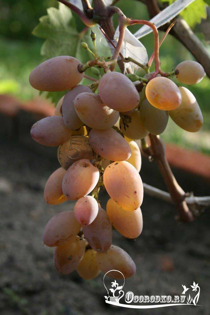 Описание сорта винограда «тимур»