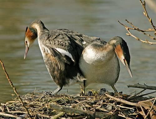 Чомга птица. описание, особенности, виды, образ жизни и среда обитания чомги