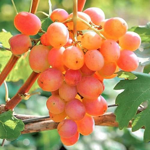 Высокоурожайный виноград «гурман»: описание и разновидности гибрида. тонкости посадки винограда «гурман» и уход за сортом - автор екатерина данилова - журнал женское мнение