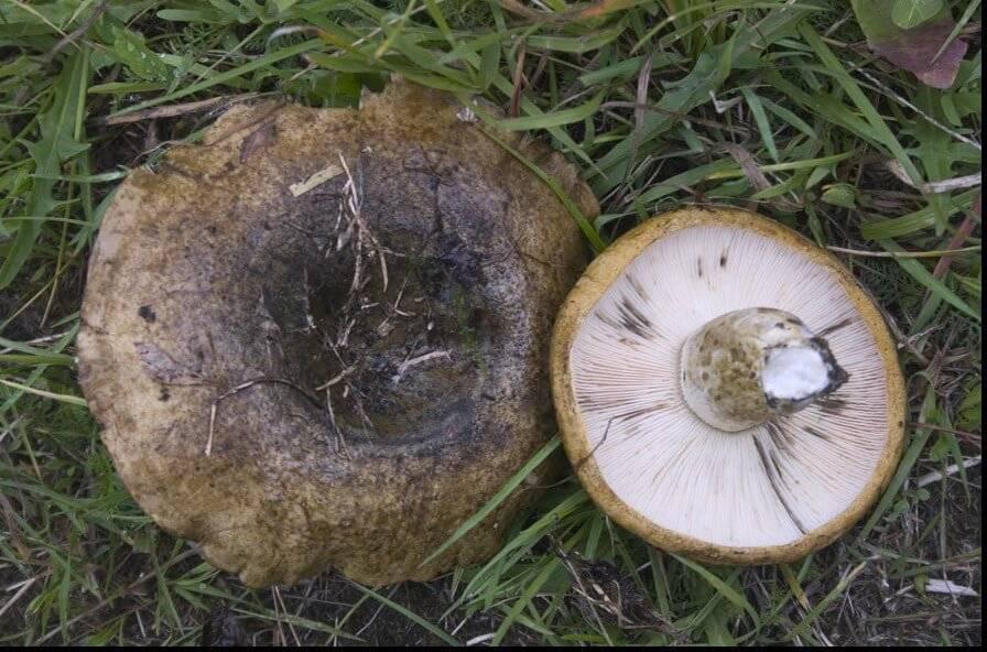 Серушка (lactarius flexuosus): описание, фото, как отличить гриб от других видов и как его готовить