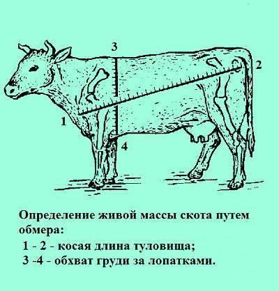 Средний вес коровы после убоя: правила расчета, влияние породы на убойную массу