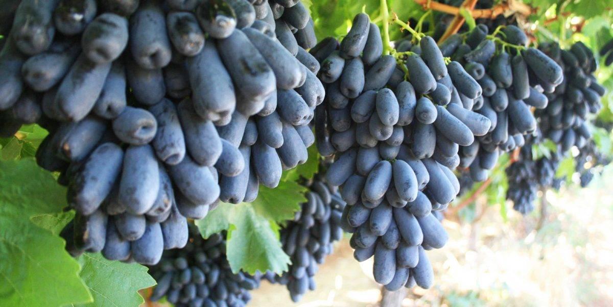 Путеводитель по винным гибридным сортам винограда для начинающих