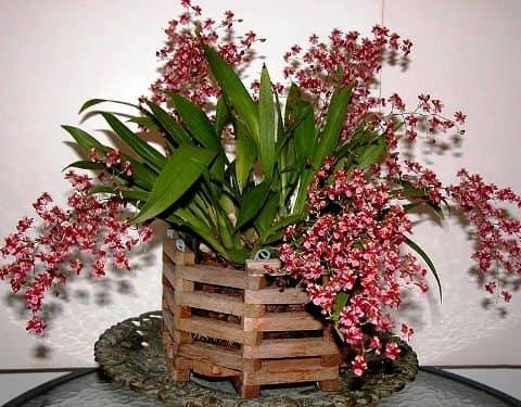 Онцидиум уход в домашних условиях, цветение, пересадка, полив цветка