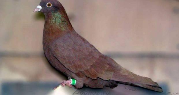 Высоколётные породы голубей | рутвет - найдёт ответ!