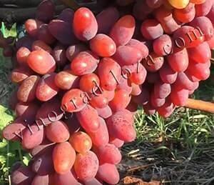 Столовый сорт винограда дружба