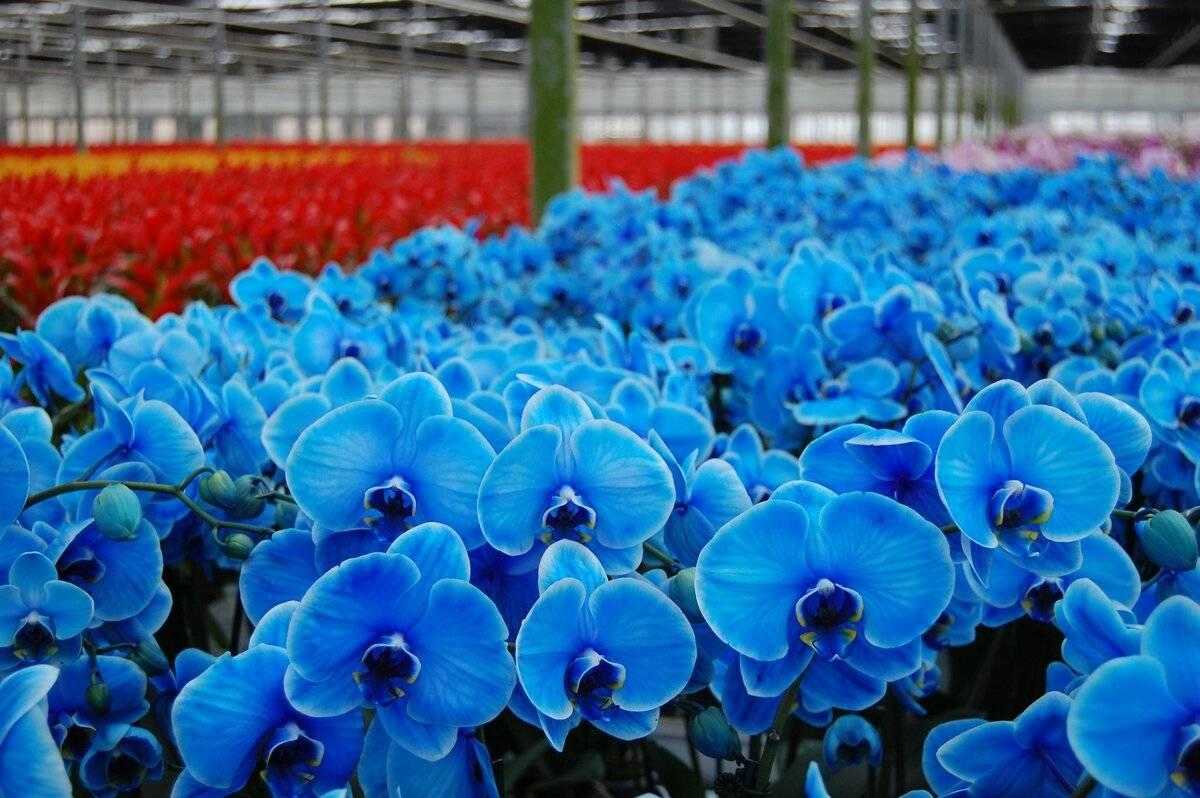 Такие красивые синие орхидеи: крашеные или нет?