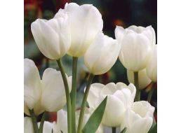 Кустовые тюльпаны: посадка и уход, особенности агротехники для разных сортов