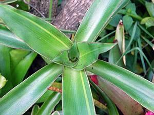 Золотой ус (29 фото): правила выращивания растения в домашних условиях, как выглядит цветок? способы размножения каллизии душистой