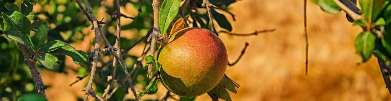 Причины усыхания ветвей, листьев и ствола на яблоне
