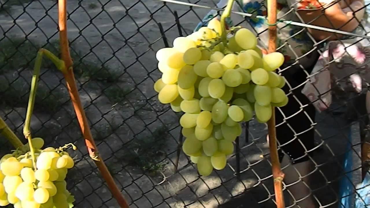 Виноград спонсор: описание сорта, фото, отзывы