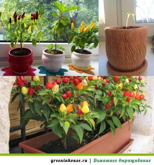 Как вырастить горький перец в домашних условиях на подоконнике: особенности выращивания и ухода