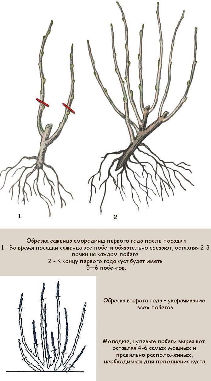 Как обрезать черную смородину осенью для урожайности куста