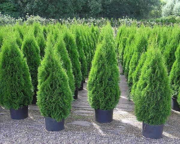 Туя: описание дерева, виды и сорта, посадка и уход