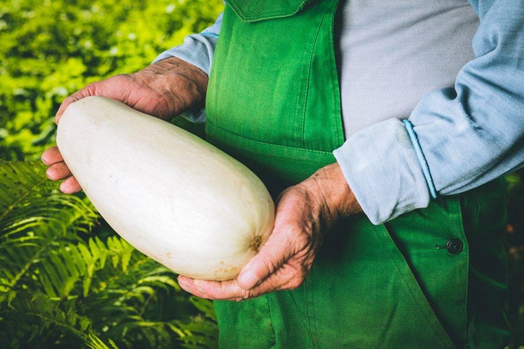 Разновидности белых кабачков и правила их выращивания