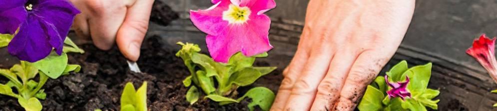 Высадка рассады петунии в открытый грунт (на клумбу) весной: сроки, правила, советы по уходу