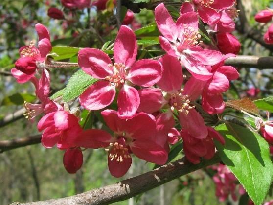 Яблоня недзвецкого: фото, описание, отзывы