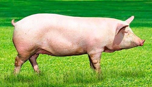 Таблица веса свиней: как определить вес свиньи и поросенка по замерам без весов